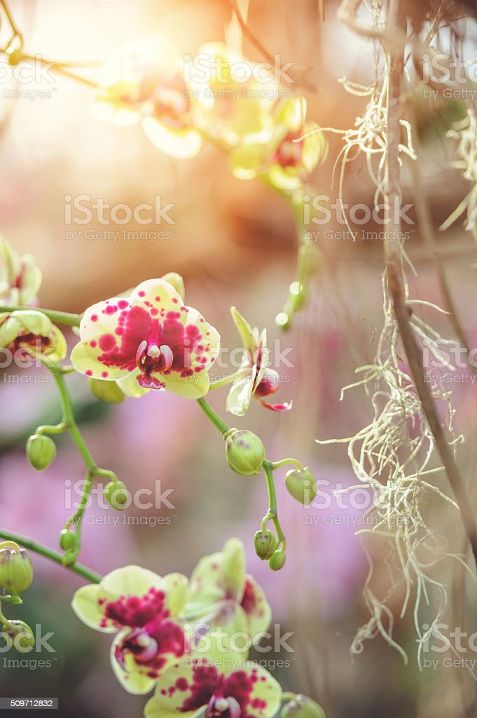 Beautiful Dendrobium orchid stock photo