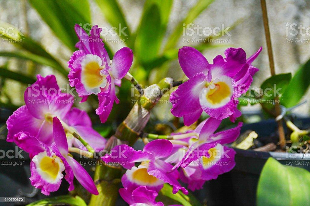 Beautiful Dendrobium orchid stock photo