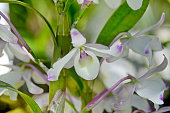 Beautiful Dendrobium orchid
