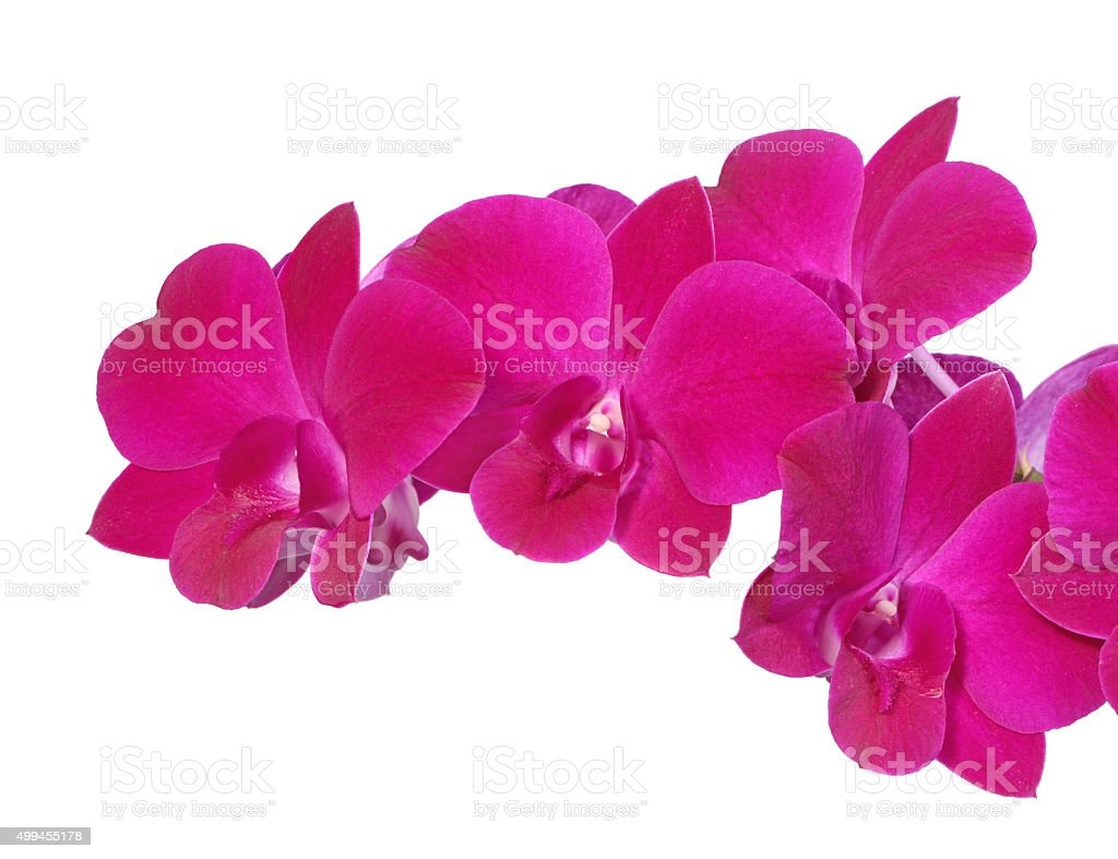 beautiful Dendrobium orchids flowers on white backgroun stock photo