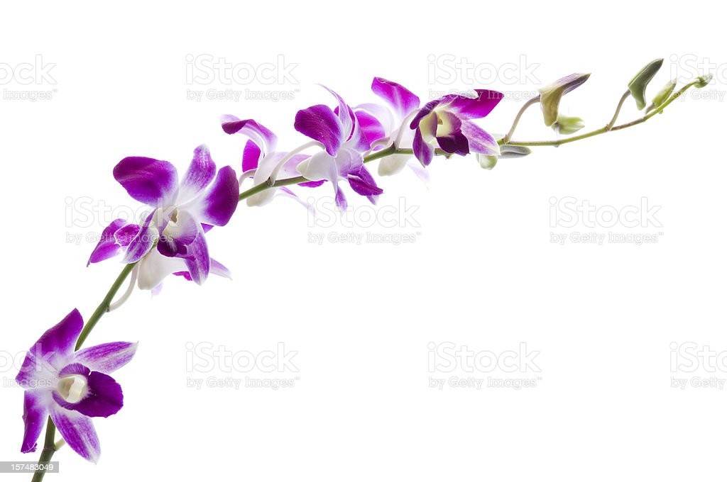 Beautiful dendrobium orchids on white. stock photo