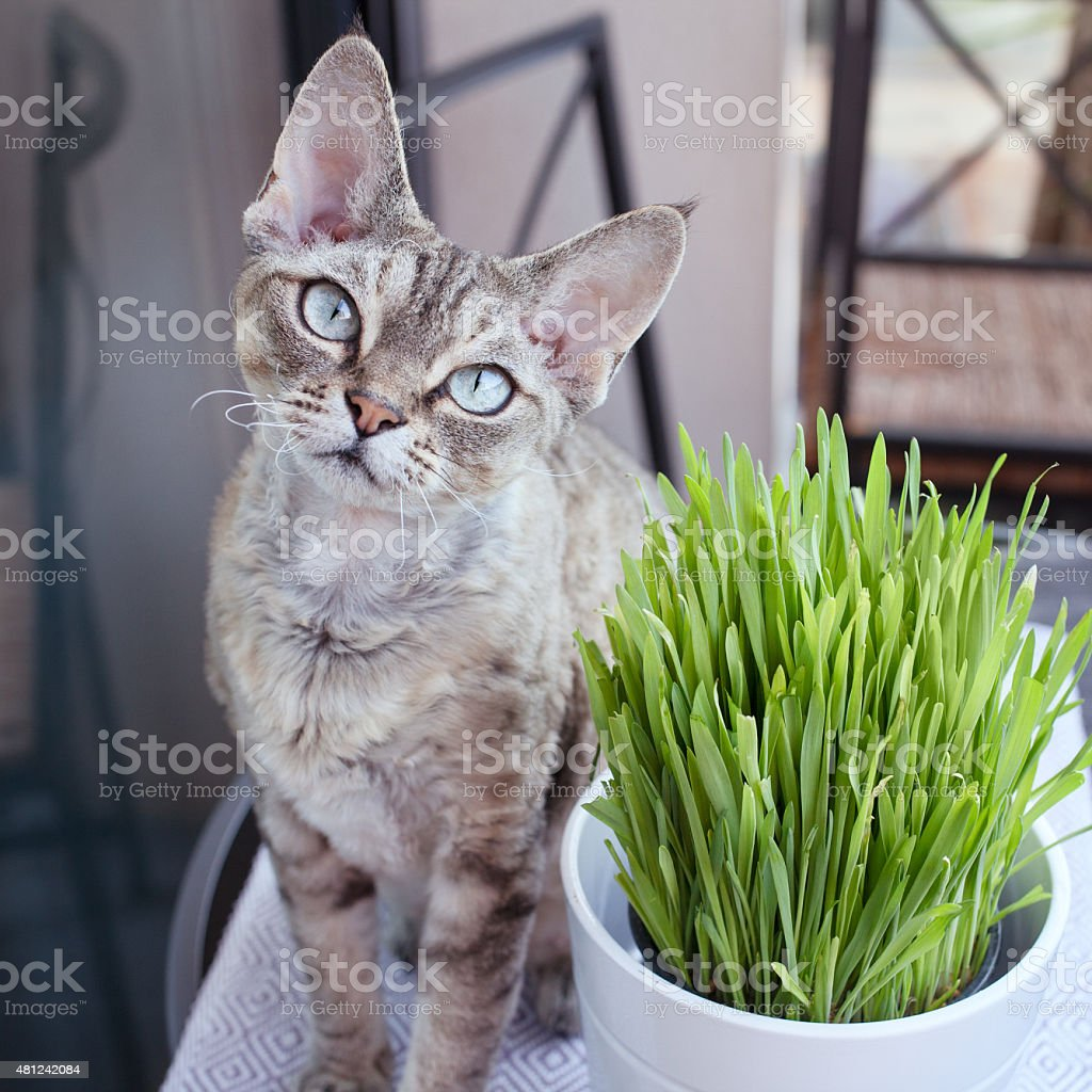 Beautiful devon rex cat eating cat grass stock photo