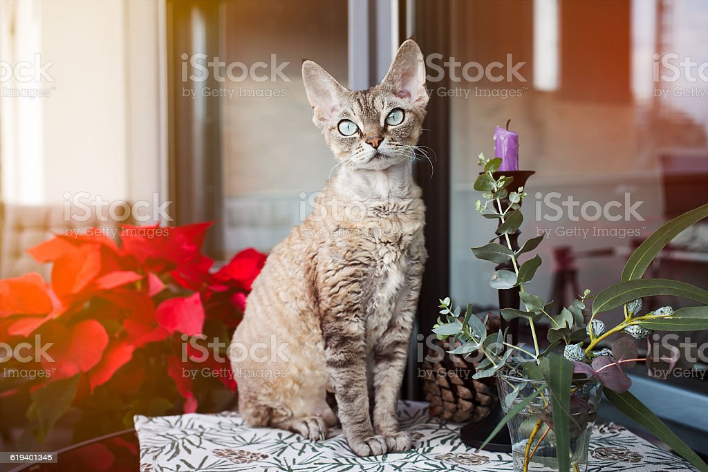 Beautiful Devon Rex cat is sitting on a nice balcony. stock photo
