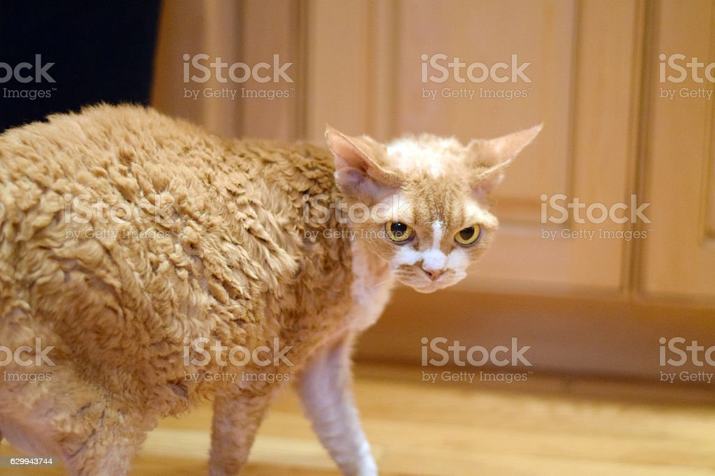 Beautiful devon rex cat stock photo