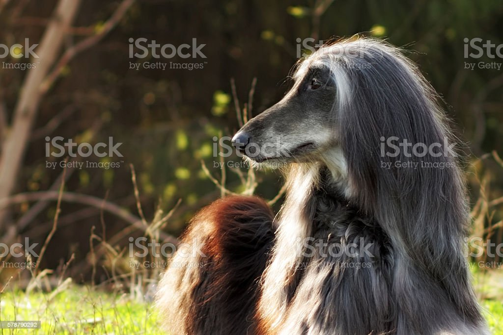 Beautiful dog breed Afghan lies in the summer on nature stock photo