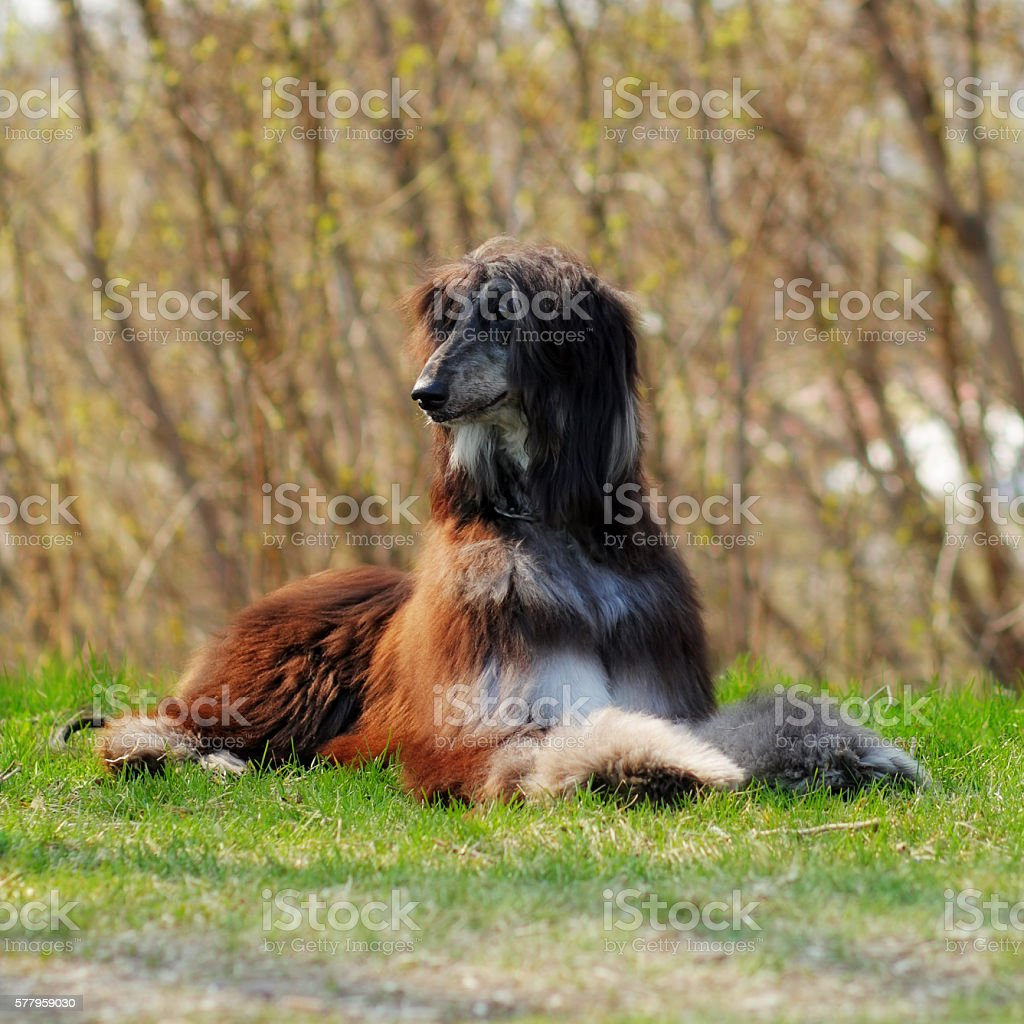 beautiful dog breed Afghan lies in the summer outdoors stock photo