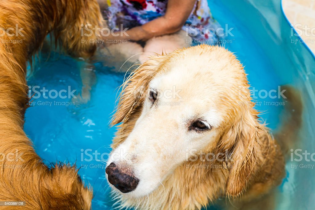 Beautiful dog golden retriever sitting down on the swimming pool stock photo