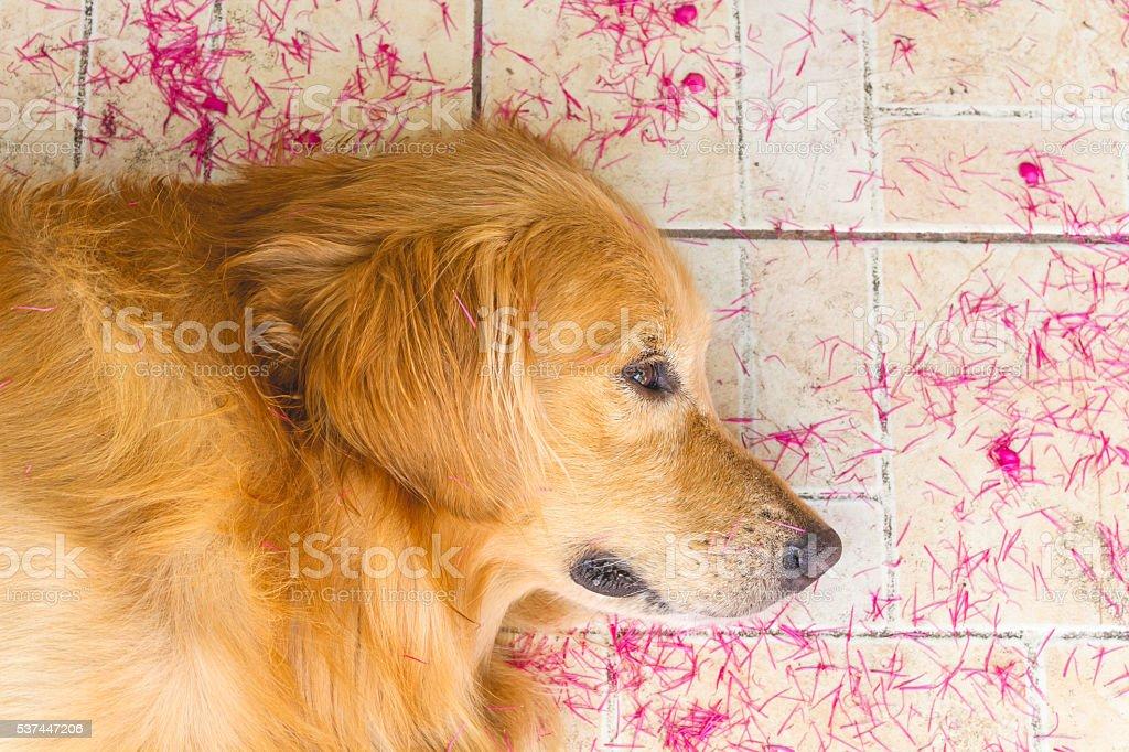 Beautiful dog golden retriever sleep on the ground stock photo