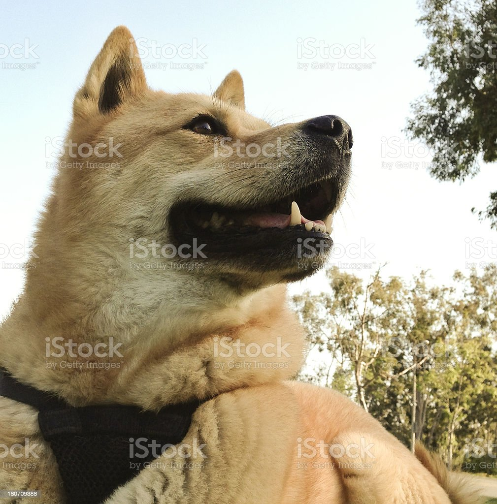 Beautiful dog (Jindo) in park at sunset royalty-free stock photo