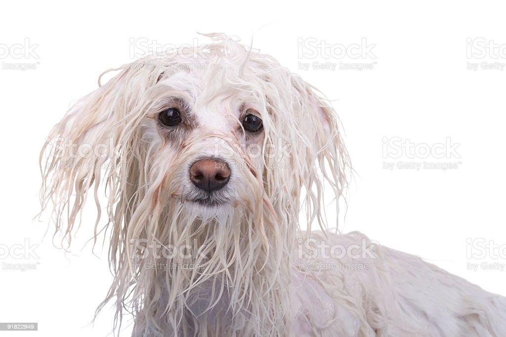 Beautiful dog on white background royalty-free stock photo
