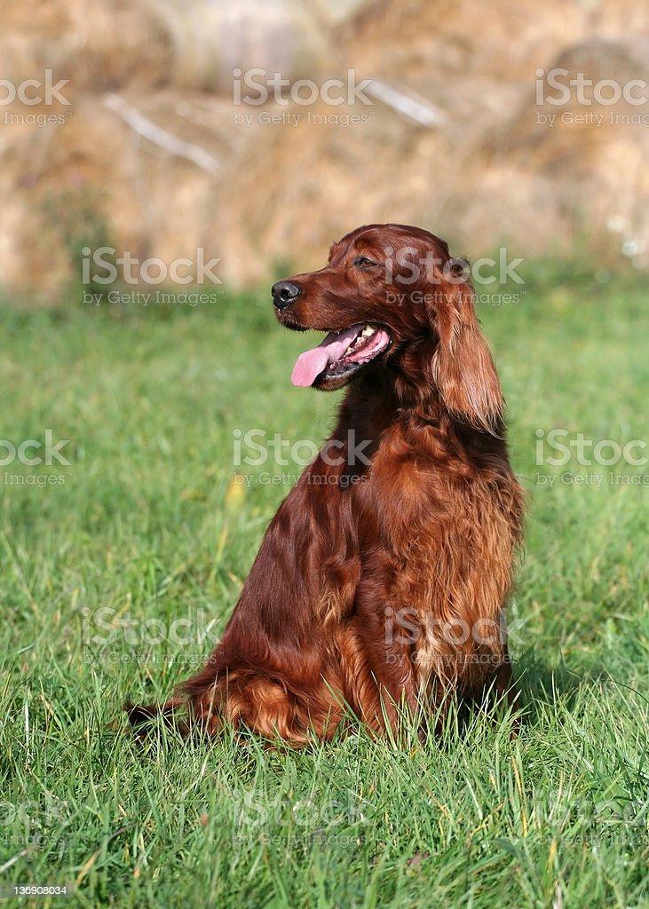 Beautiful dog royalty-free stock photo