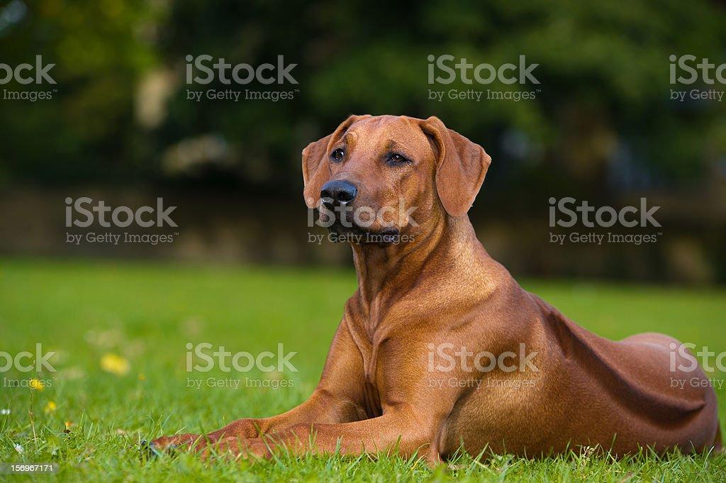 Beautiful dog rhodesian ridgeback puppy stock photo