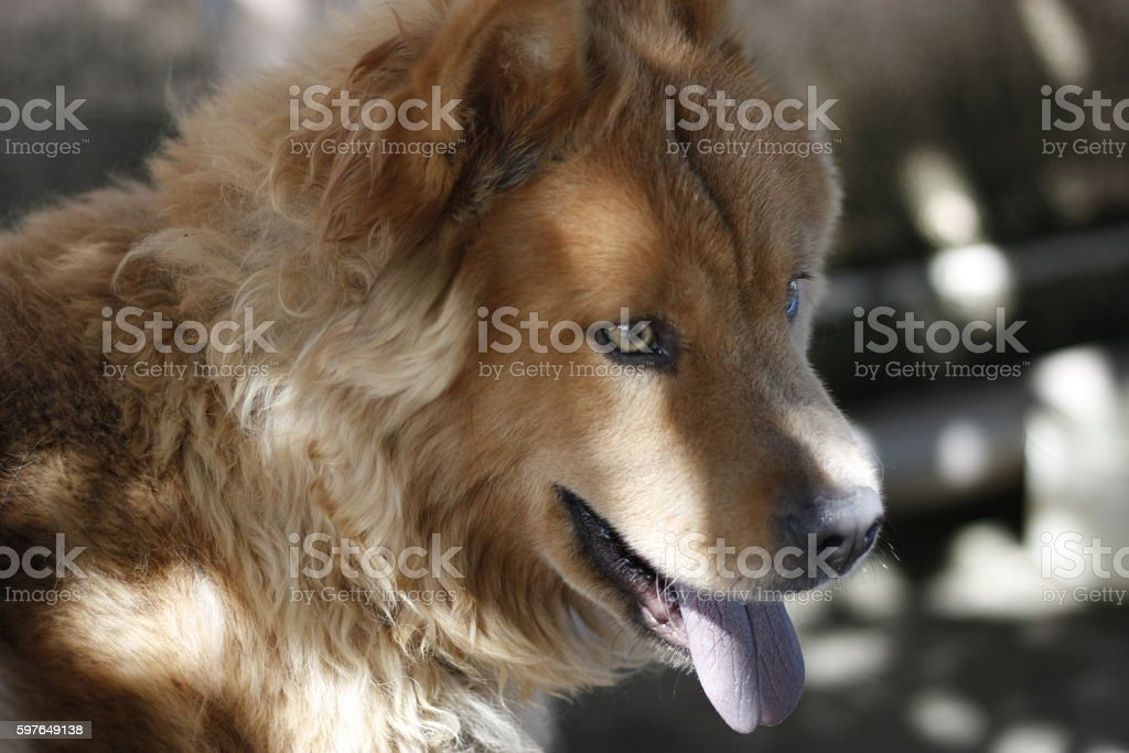 A beautiful dog showing its tongue standing in the shadow.