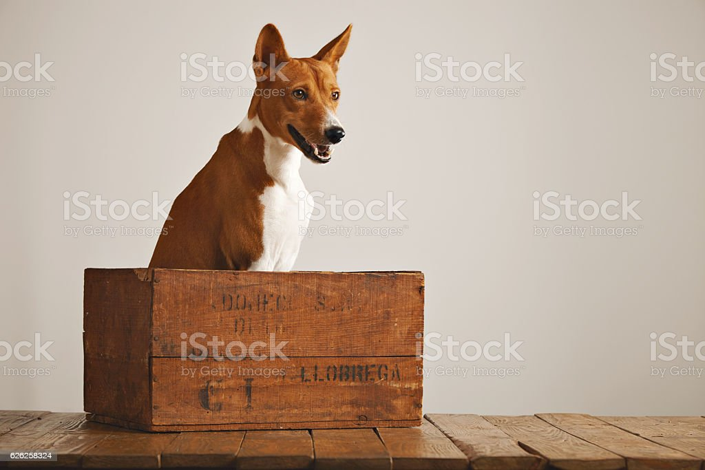 Beautiful dog with an old wooden box stock photo