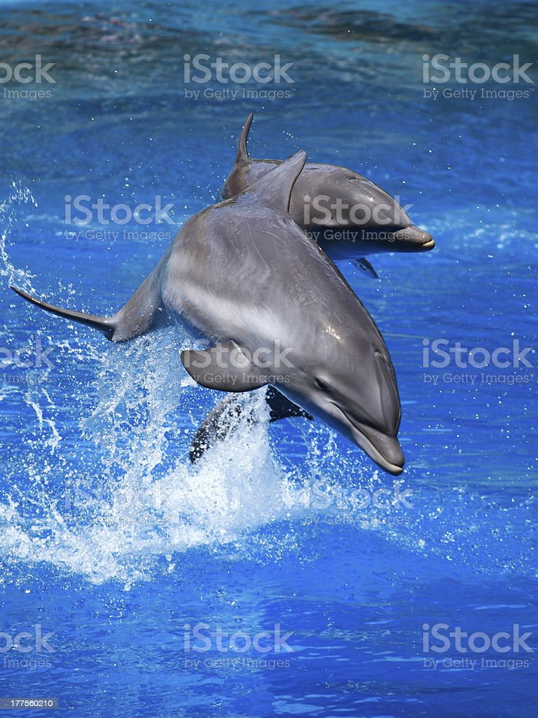 Beautiful dolphin swimming in the blue water stock photo