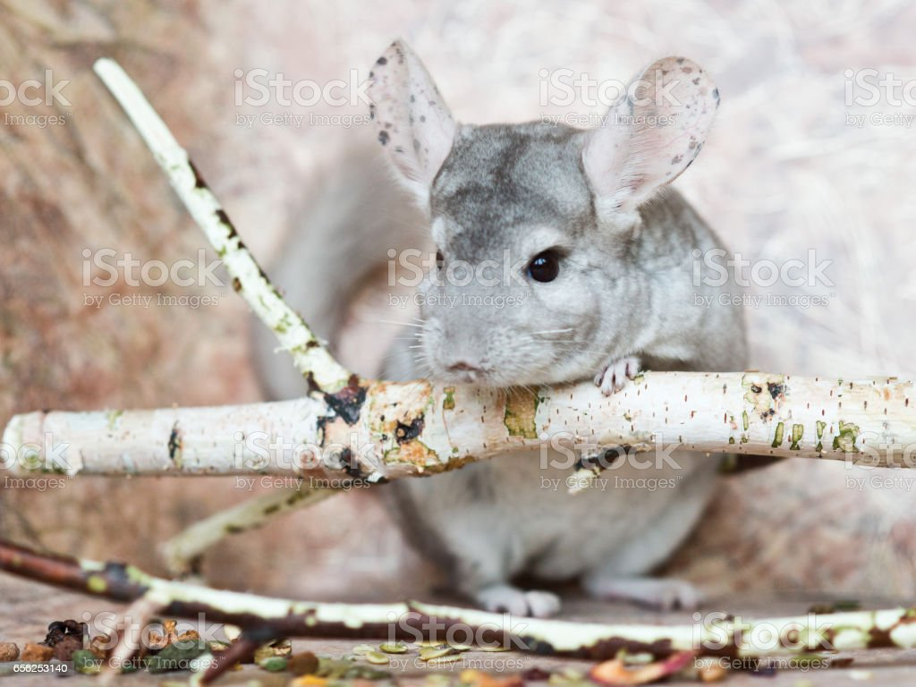 Beautiful domestic chinchilla sits leaning on branch stock photo
