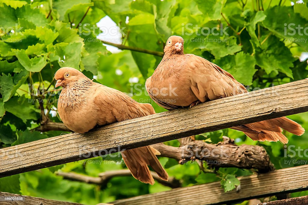 Beautiful doves stock photo