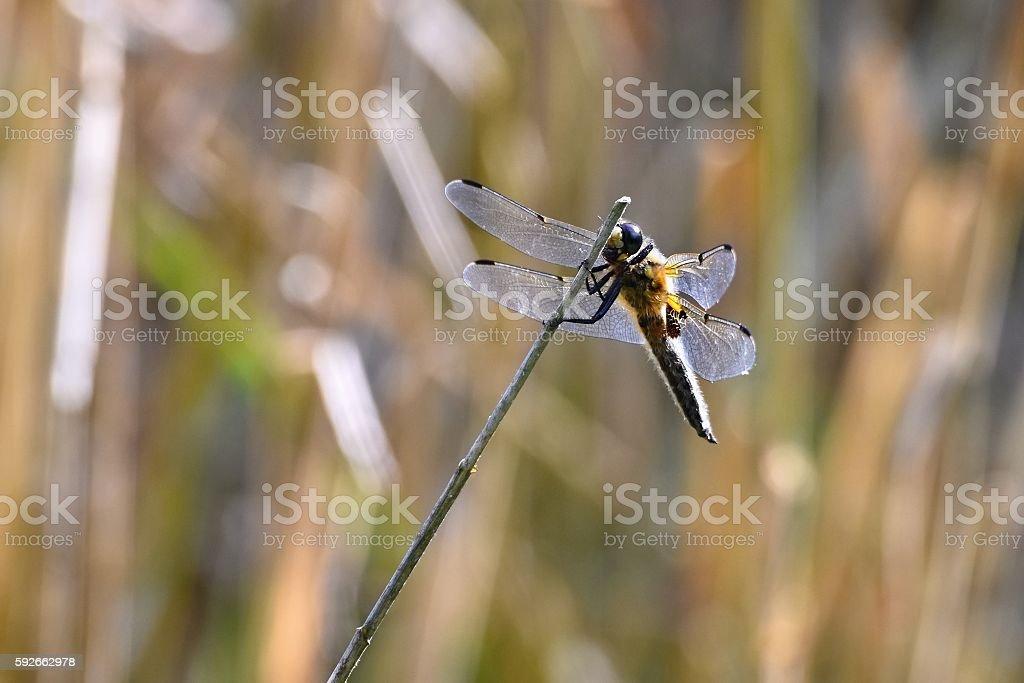 Beautiful dragonfly. Macro shot of nature. stock photo