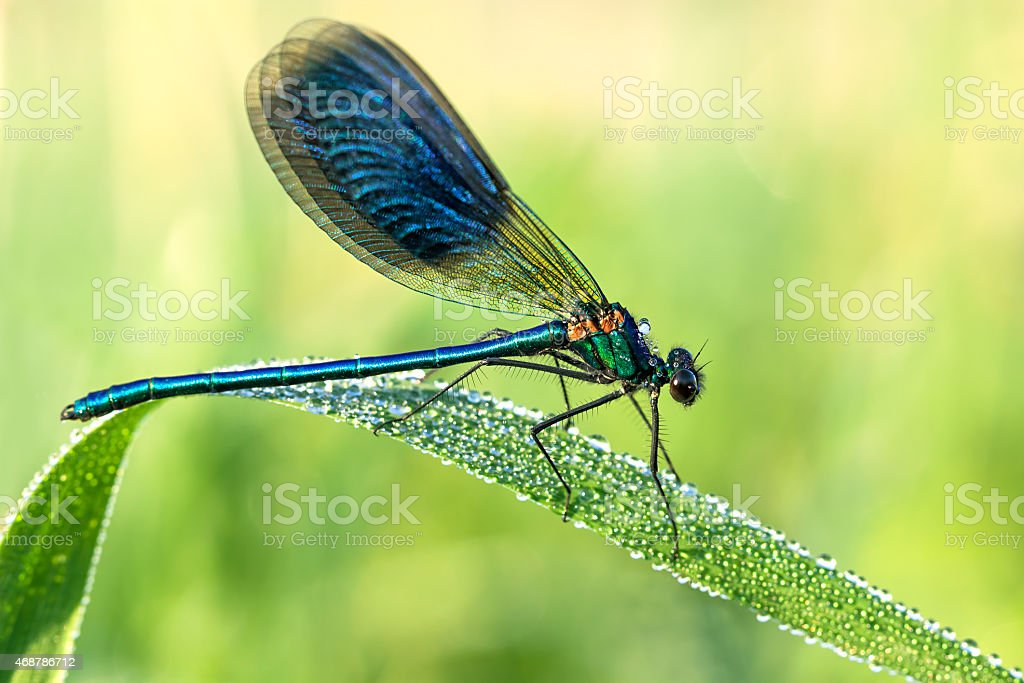 beautiful dragonfly  on a meadow closeup stock photo