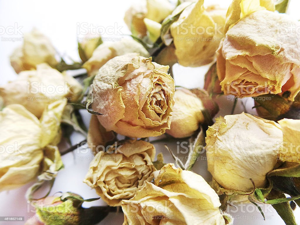 Beautiful dried rose butons on white background stock photo