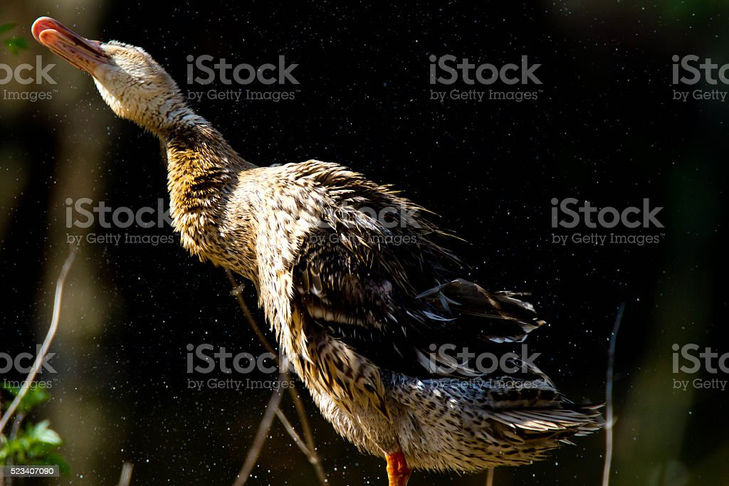 Beautiful Duck is shaking stock photo