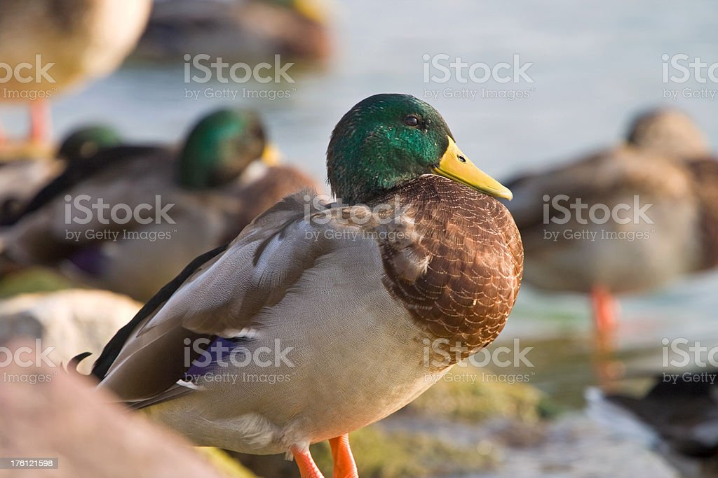 Beautiful Duck looking at the water royalty-free stock photo