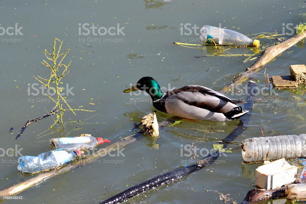 beautiful duck overcomes obstacles in dirty water stock photo