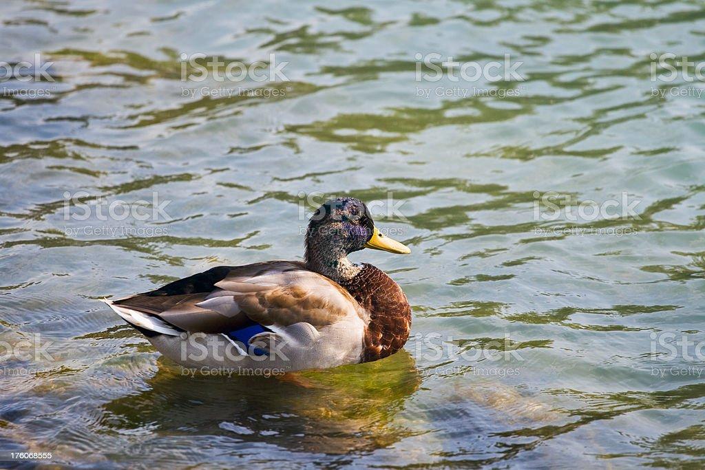 Beautiful Duck royalty-free stock photo