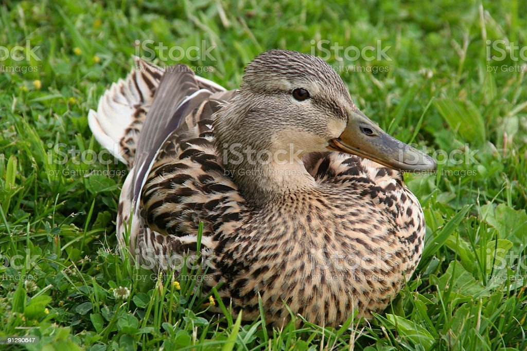 beautiful duck sitting in the grass royalty-free stock photo