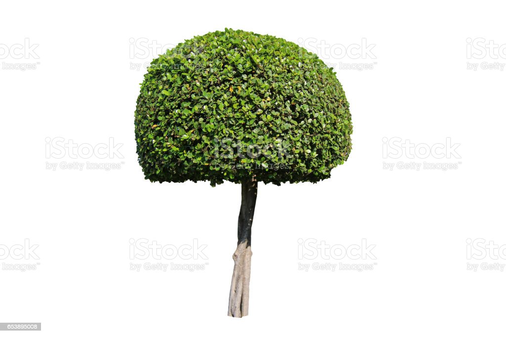 Beautiful dwarf tree on white background stock photo