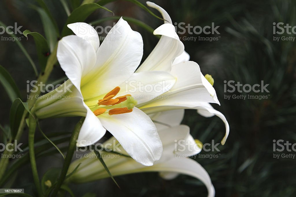 Beautiful Easter Lilies stock photo
