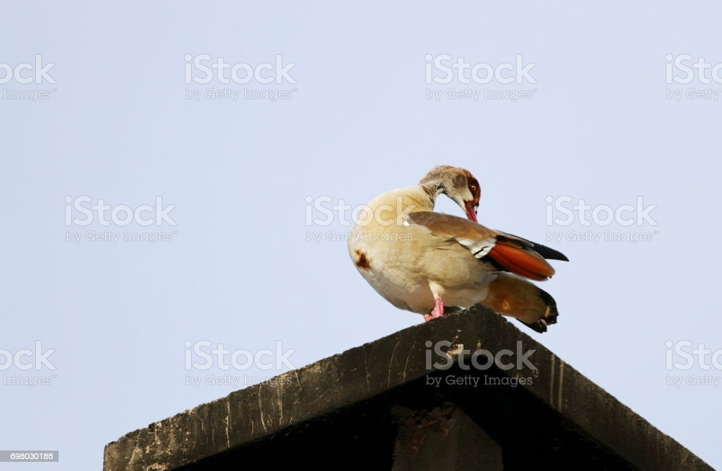 A beautiful Egyptian goose on the roof stock photo