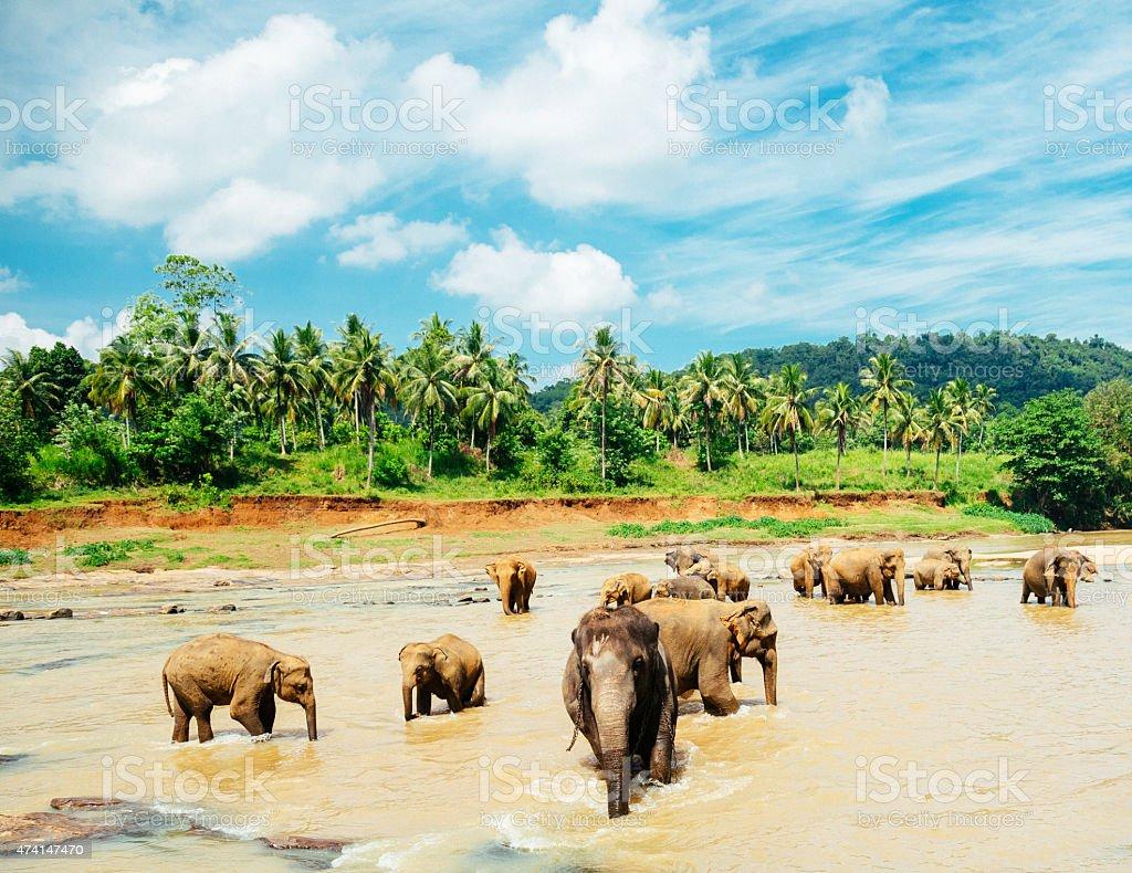 Beautiful elephant orphanage in Sri Lanka stock photo