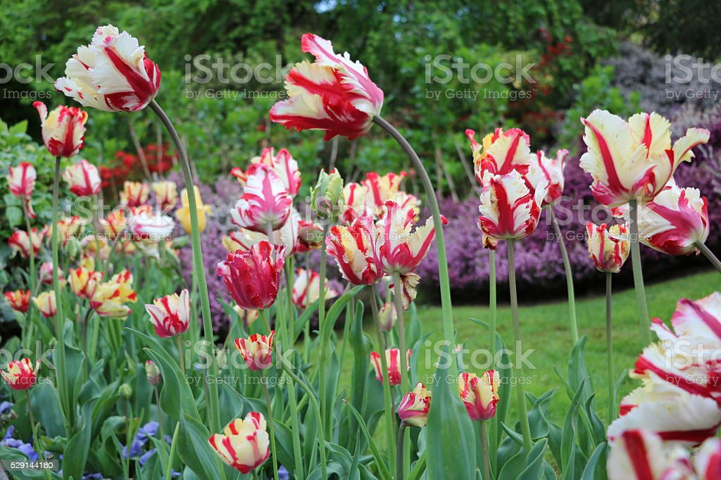 Beautiful Elite Tulpis in flowerbed at Lake Maggiore, Italy stock photo