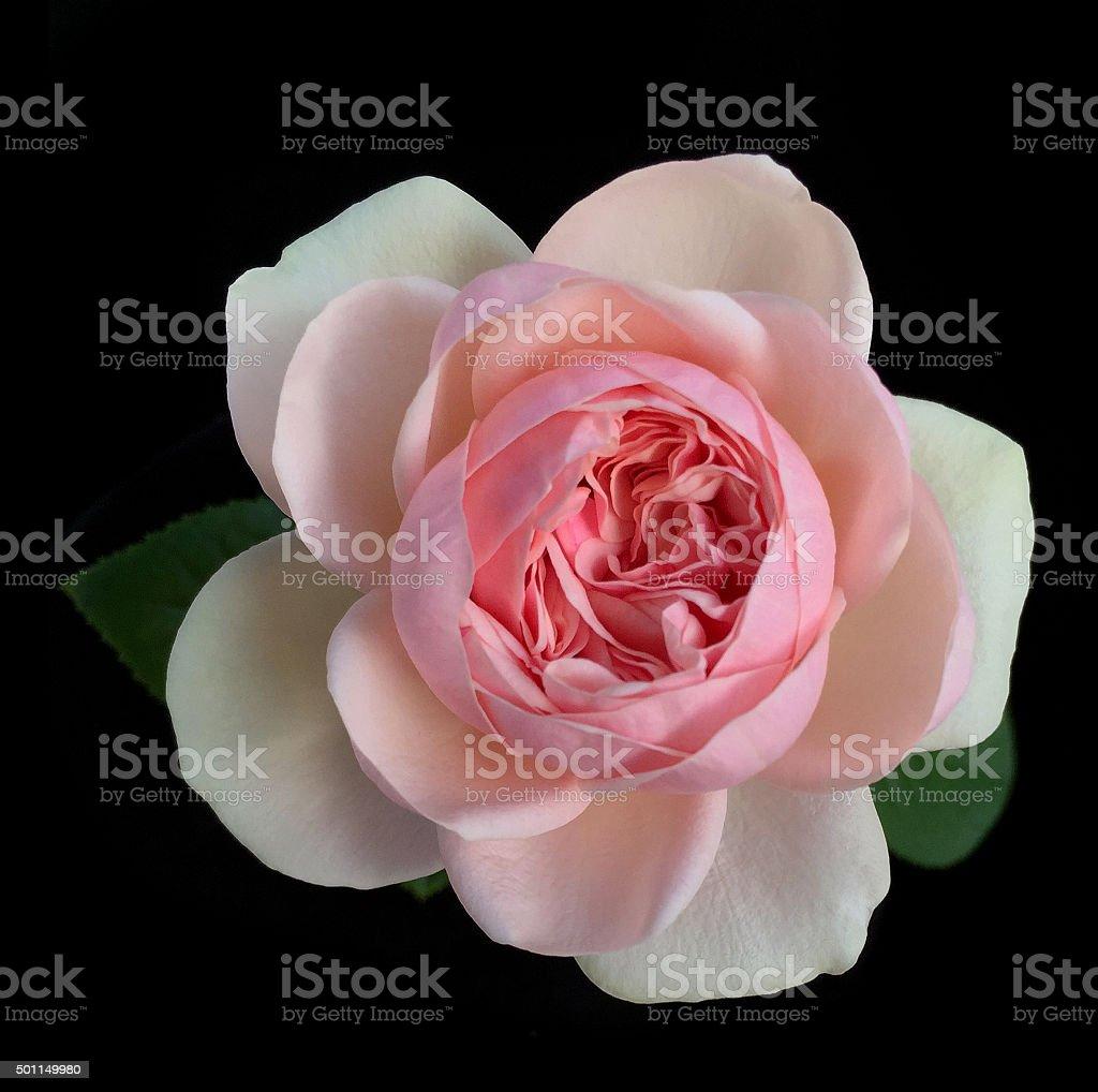 Beautiful English roses on black background stock photo