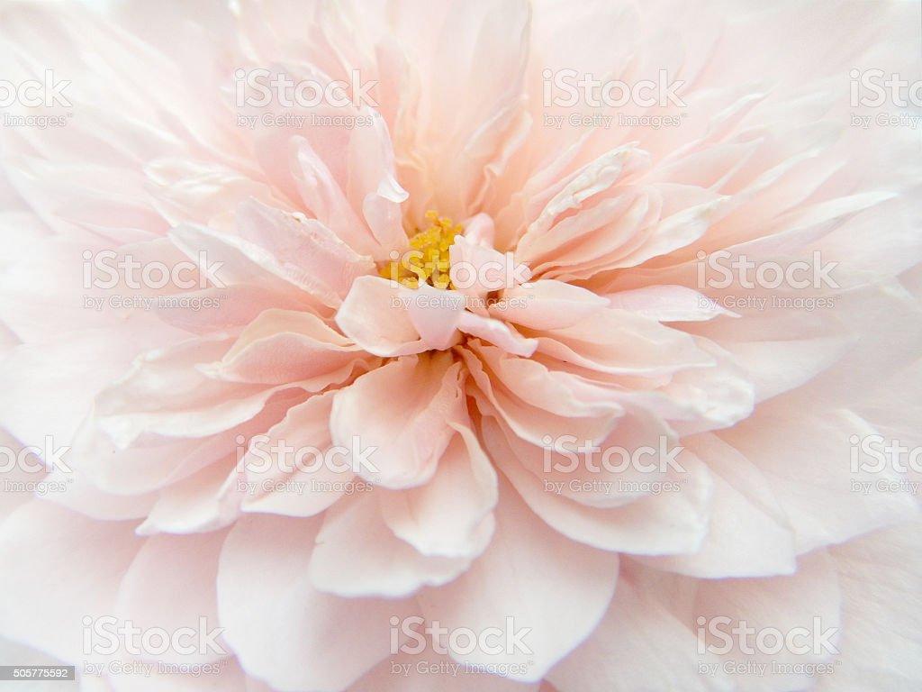 Beautiful English roses stock photo