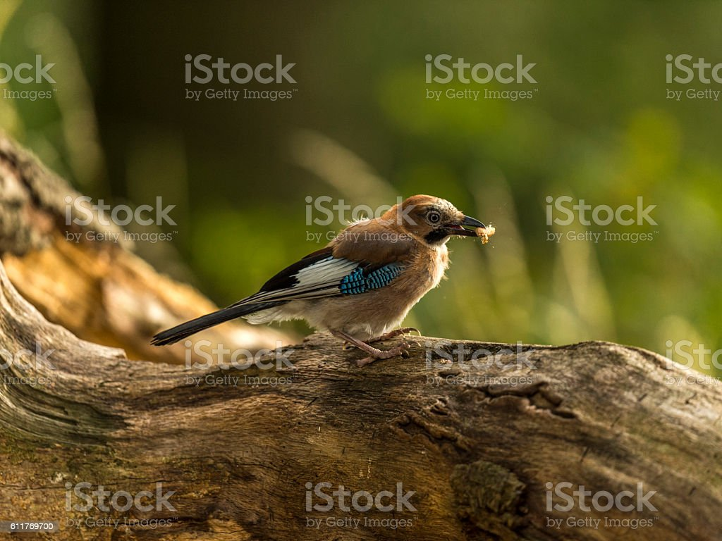 Beautiful Eurasian Jay Peanut Crunch stock photo