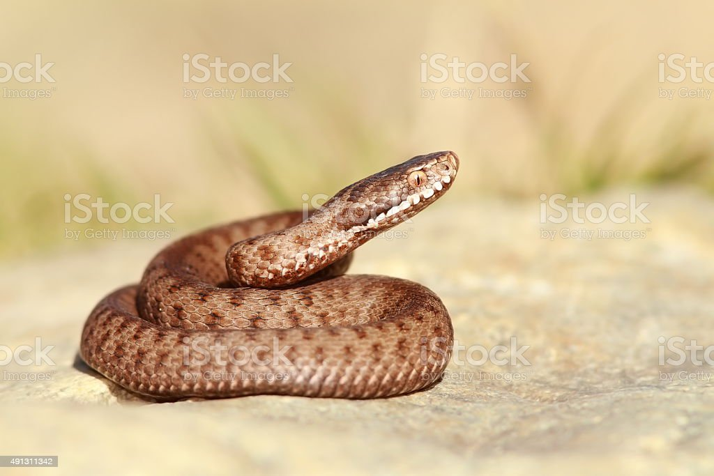 beautiful european common adder stock photo