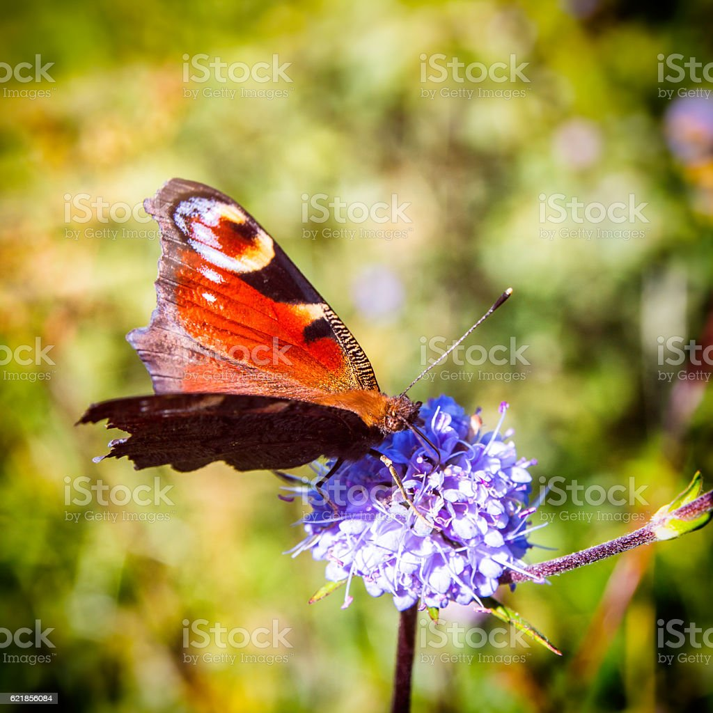Beautiful european orange Peacock butterfly on mauve flower in autumn stock photo