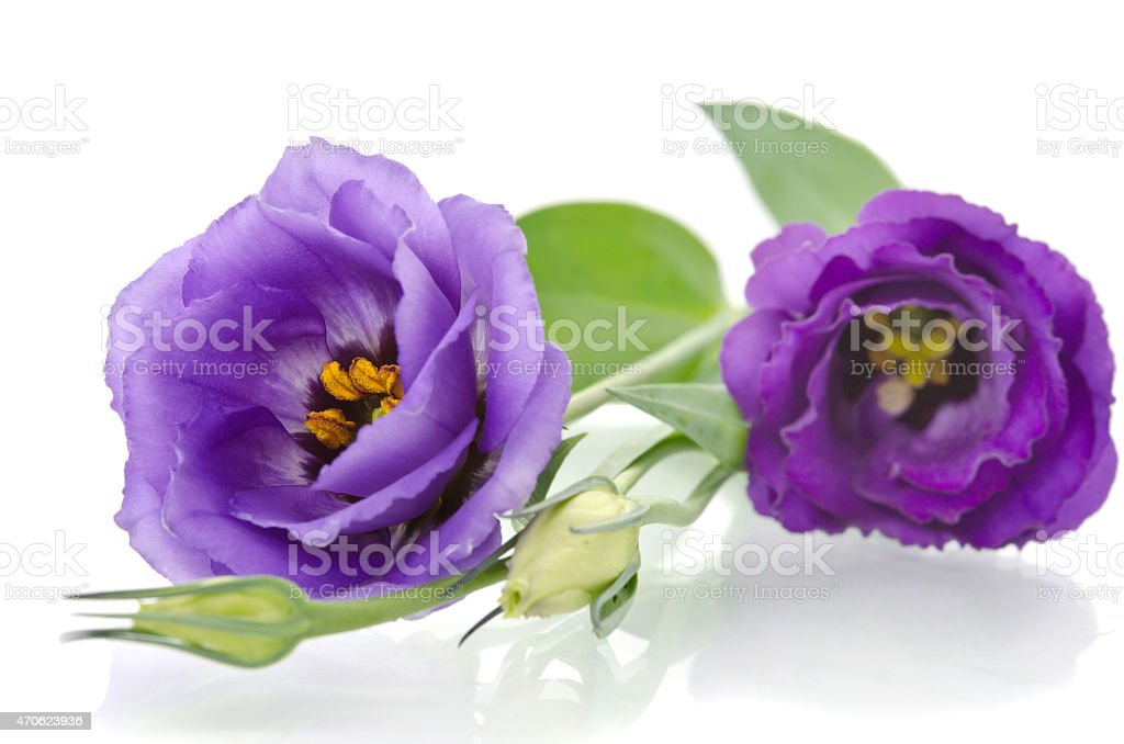beautiful eustoma flowers with leaves and buds stock photo