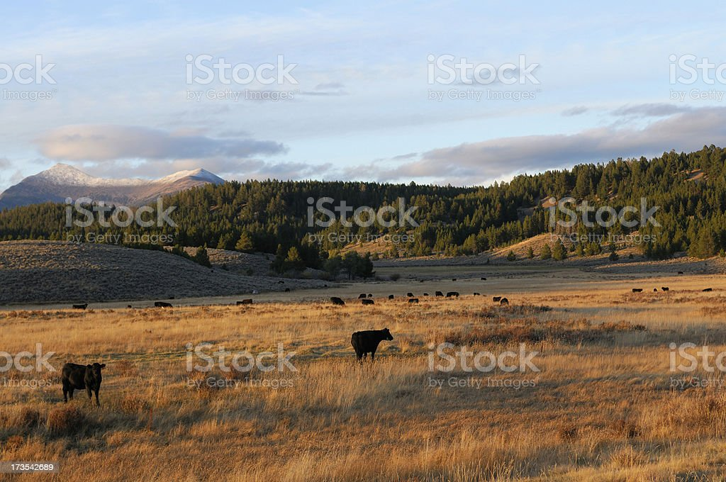 Beautiful Evening with Cattle stock photo
