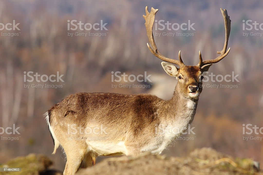 beautiful fallow deer stag in clearing stock photo