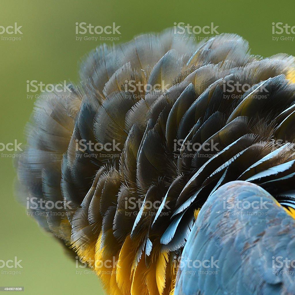Belles plumes d'Ara bleu et or photo libre de droits