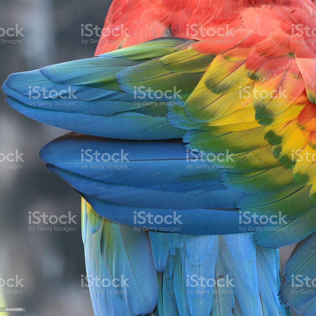 Belles plumes d'Ara rouge photo libre de droits