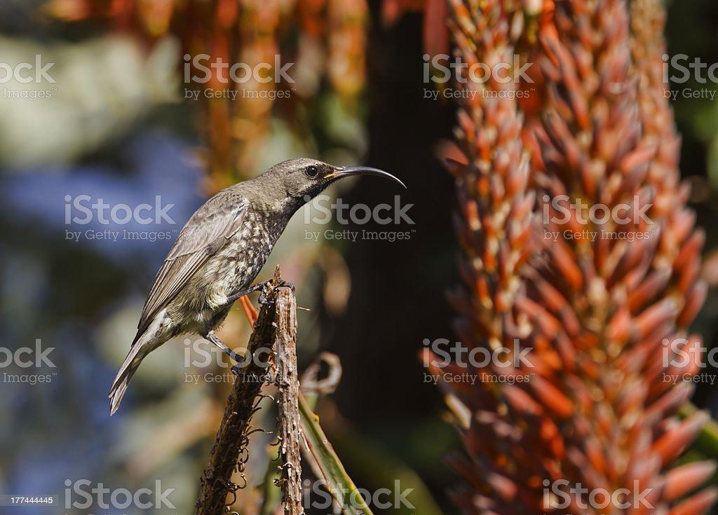 Piękna kobieta Amethyst Sunbird przed bardzo na kolorowym tle zbiór zdjęć royalty-free