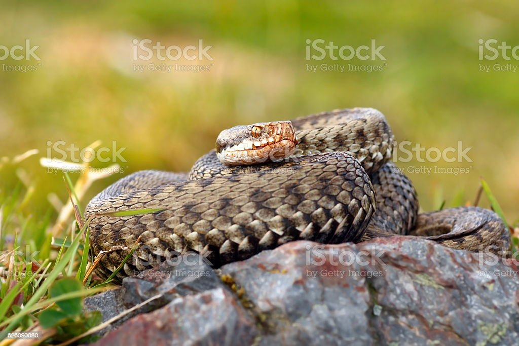 beautiful female european common adder stock photo
