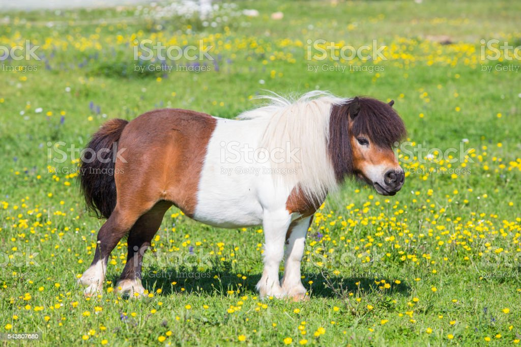 Beautiful female Shetland pony on pasture stock photo