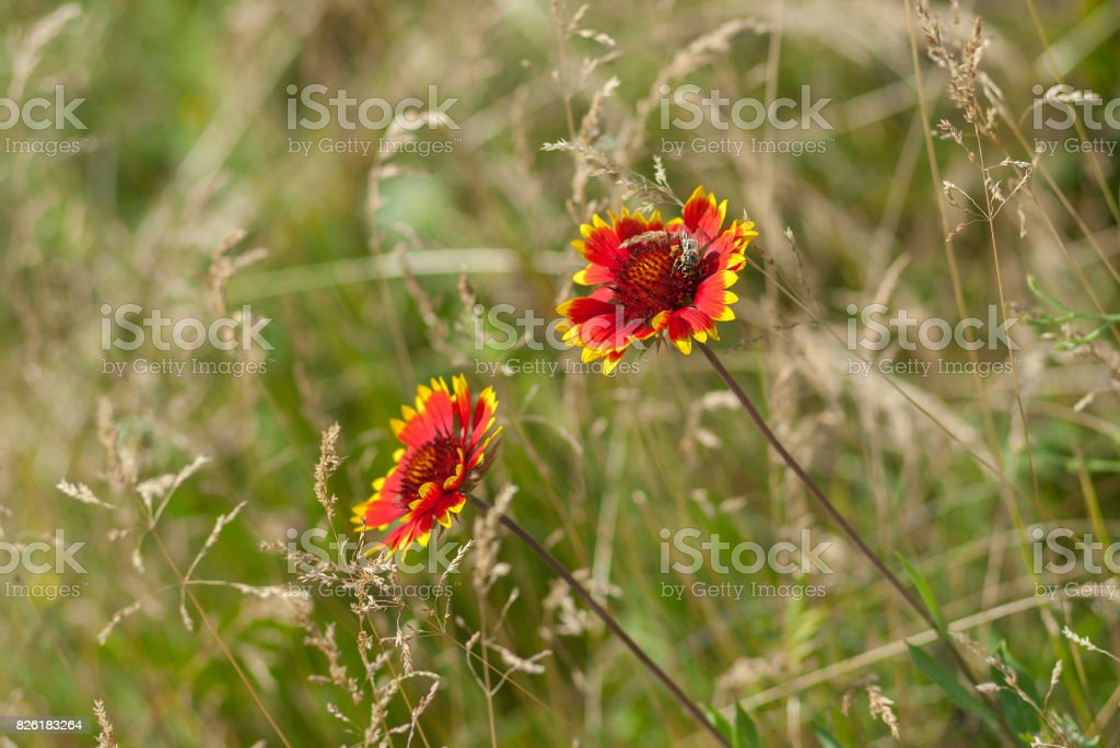 Beautiful feral Indian blanket flowers with bee guest in a summer wild field stock photo