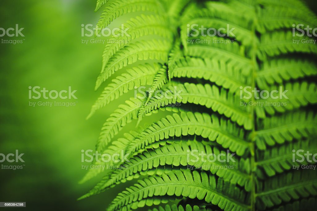 Beautiful fern leaves, macro stock photo