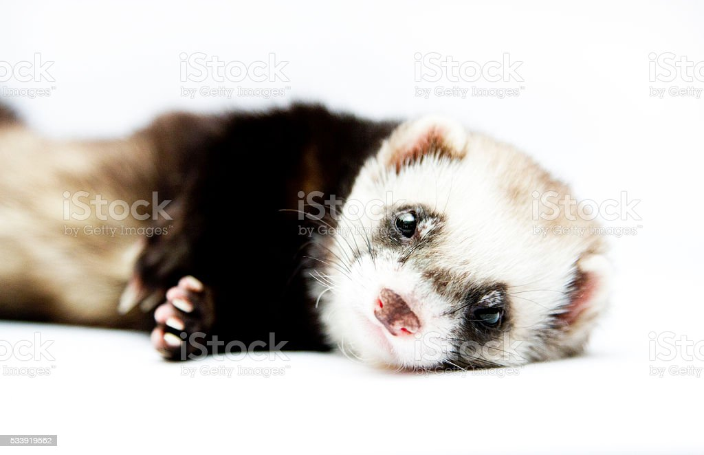 beautiful ferret rest in white background stock photo